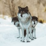 White and black wolves on snow covered ground